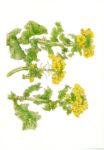 絵はがき 菜の花