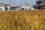 新善光寺参道沿いの麦畑