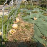 水口のかんぴょう畑