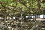 池田の渡し 姫街道 熊野の長フジ