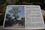 玉泉寺の説明板には、かつての大ケヤキの写真がありました。