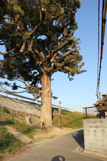 木津川土手にそびえる保存樹の楠(2019年7月現在、枯れてないそうです「ホントに歩く東海道 第16集」マップ№63 mapC