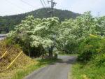 ヒトツバタゴが満開。5月中旬頃。大湫宿東、十三峠西入口