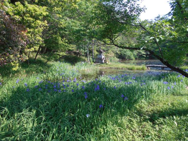 弁財天の池のカキツバタ。江戸時代から名所でした。