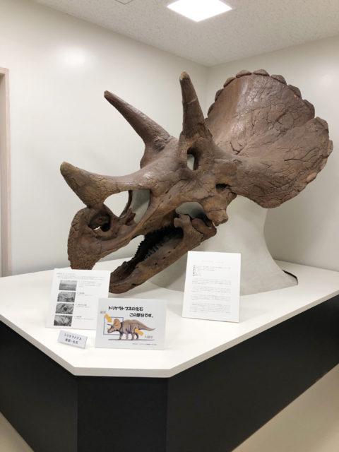 トリケラトプスの化石