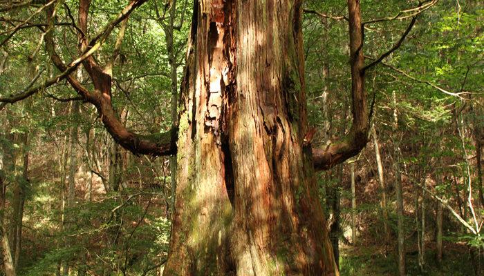 神居木と呼ばれているサワラの木。風呂桶350個作れるそうです。by木曽森林管理署