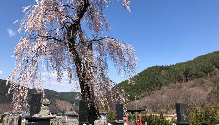 松尾神社前のしだれ桜